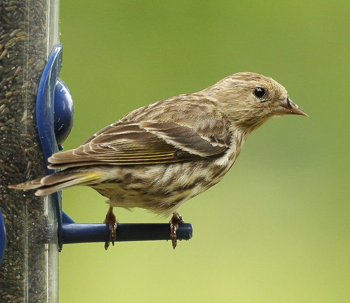 A streaky, irruptive finch