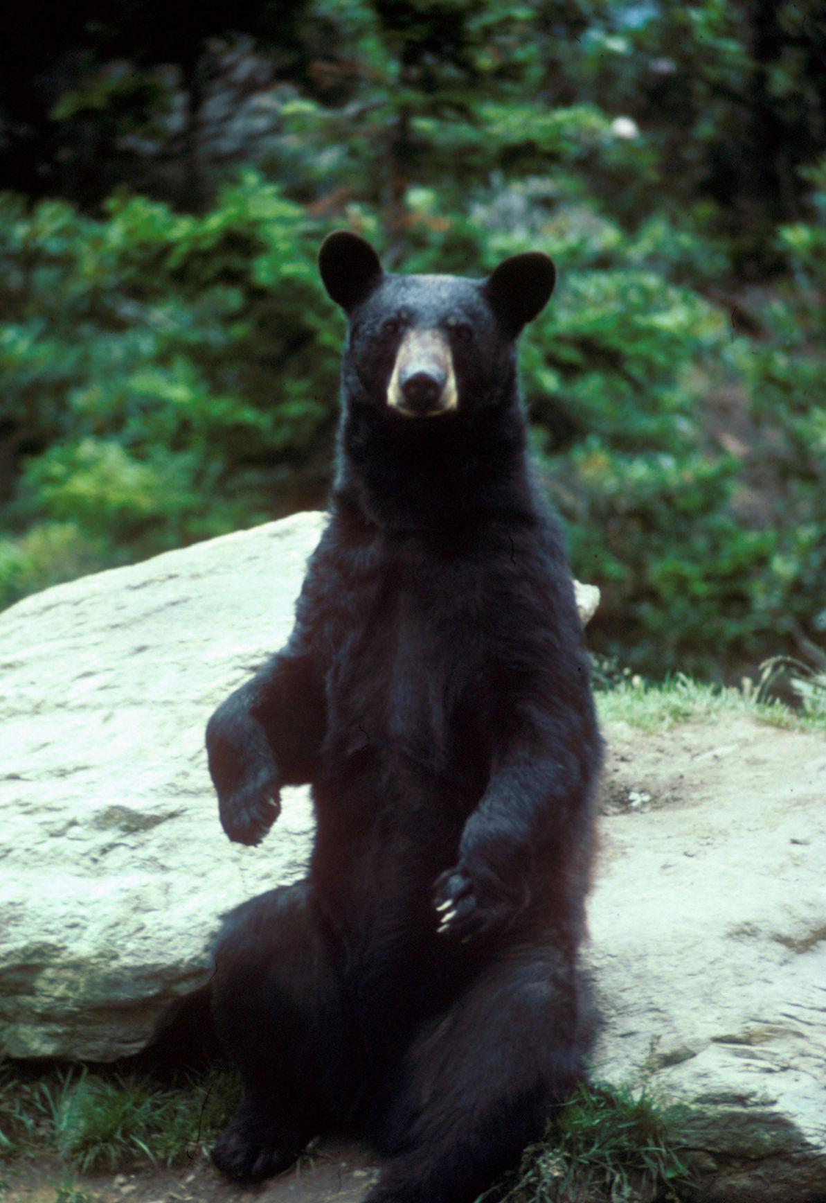 Black bears are returning to Oklahoma