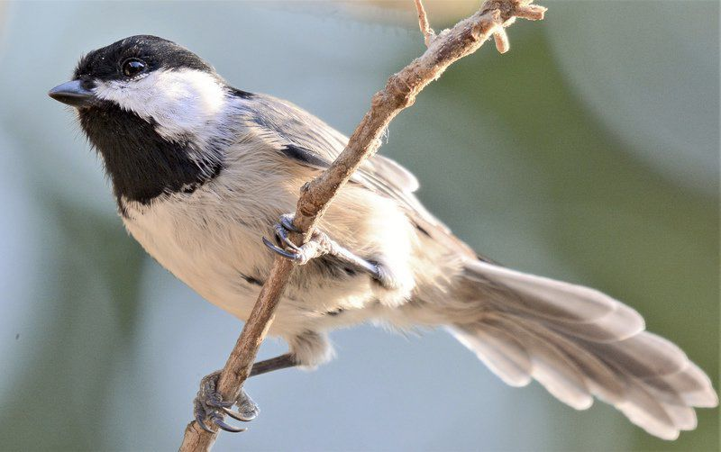 Meet the Carolina chickadee