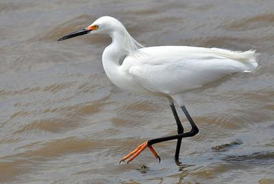 Great Egret On Prowl >> Randy S Natural World Local News Theadanews Com