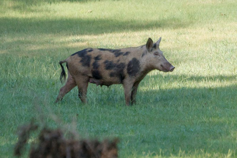 Pearls for swine: Bill could create feral hog bounty hunters