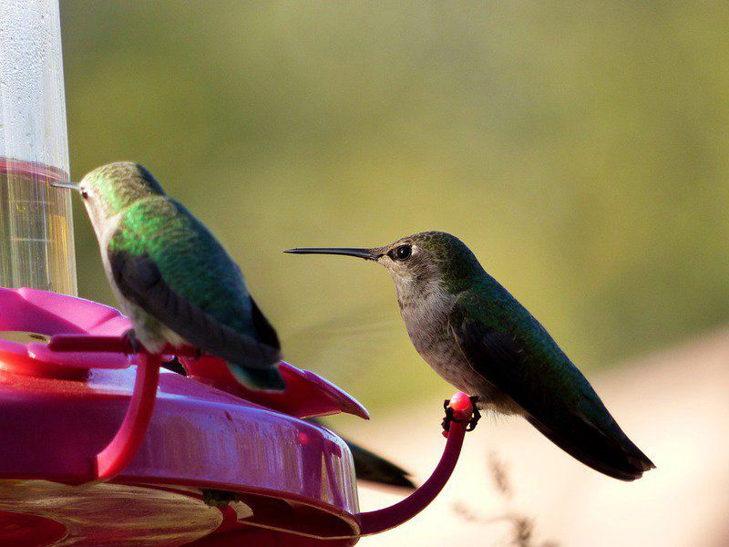 GROW!: Attracting hummingbirds to the landscape