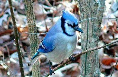 blue-jay_original-WEB.jpg