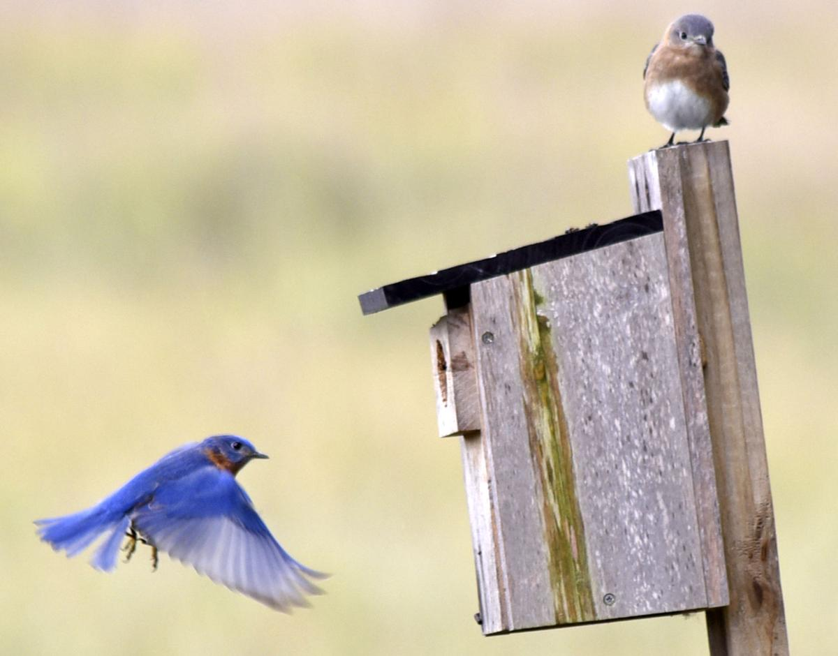 backyard bird count coming to fort frederica local news the news