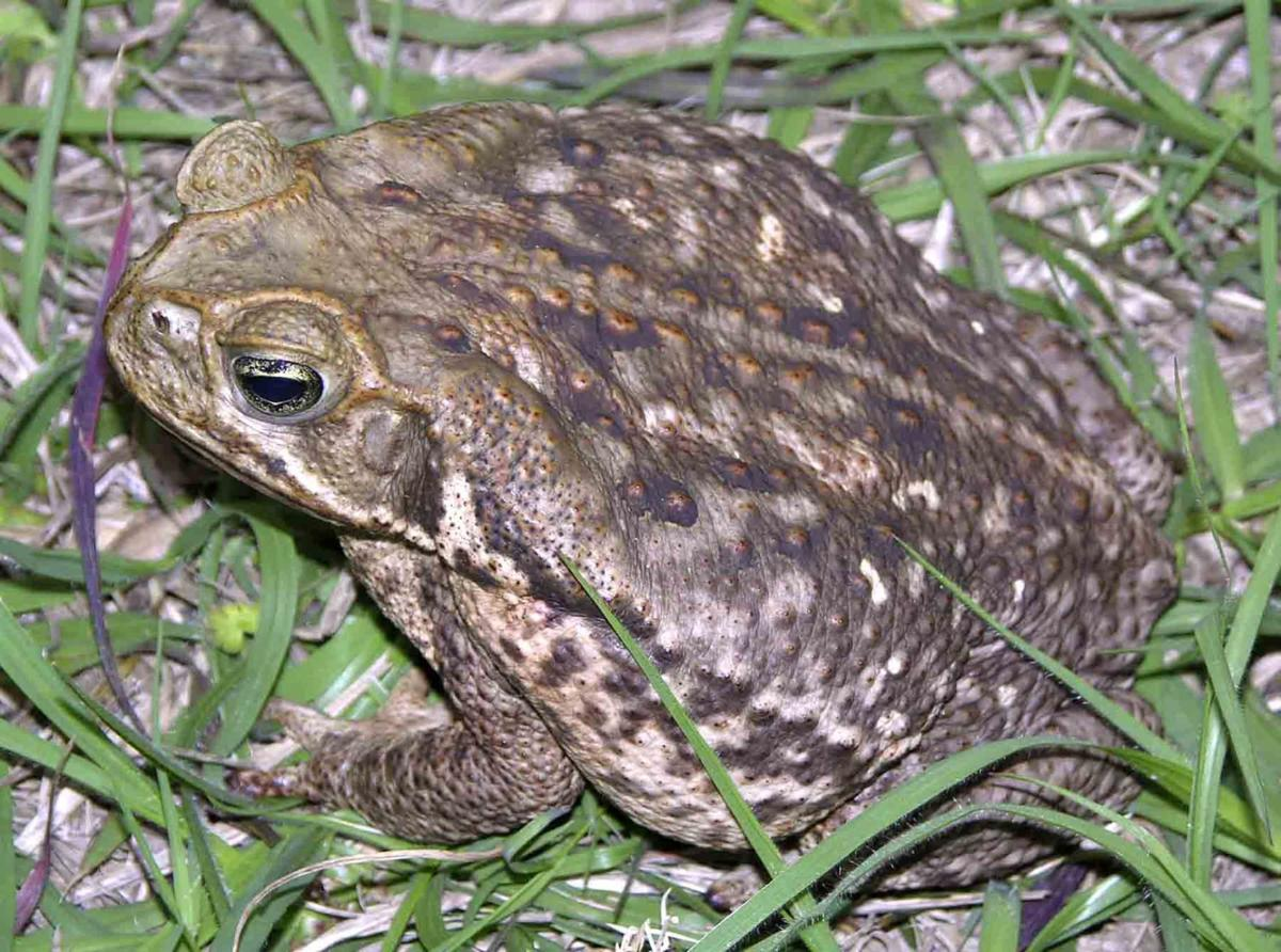 invasive toad discovered in st marys local news the news