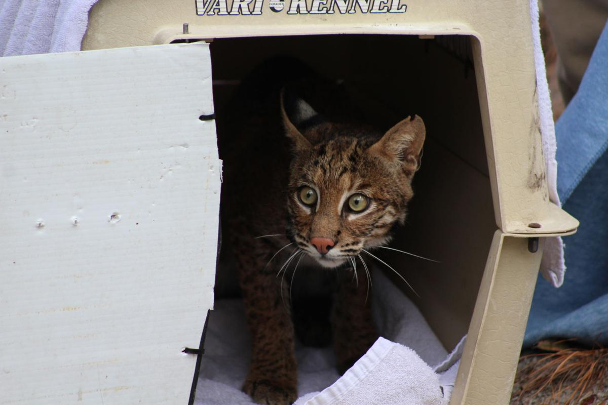 Jekyll Island Authority and Jacksonville Zoo Save Bobcat