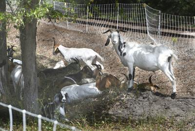 goat land clearing