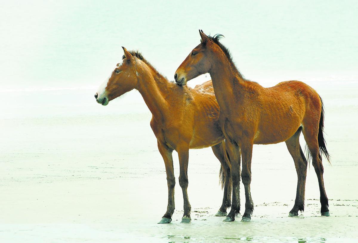 Cumberland horses