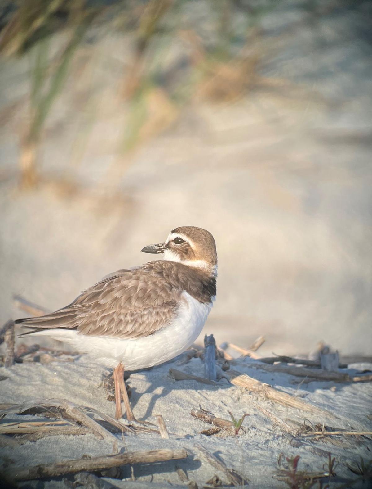 Nesting shorebirds