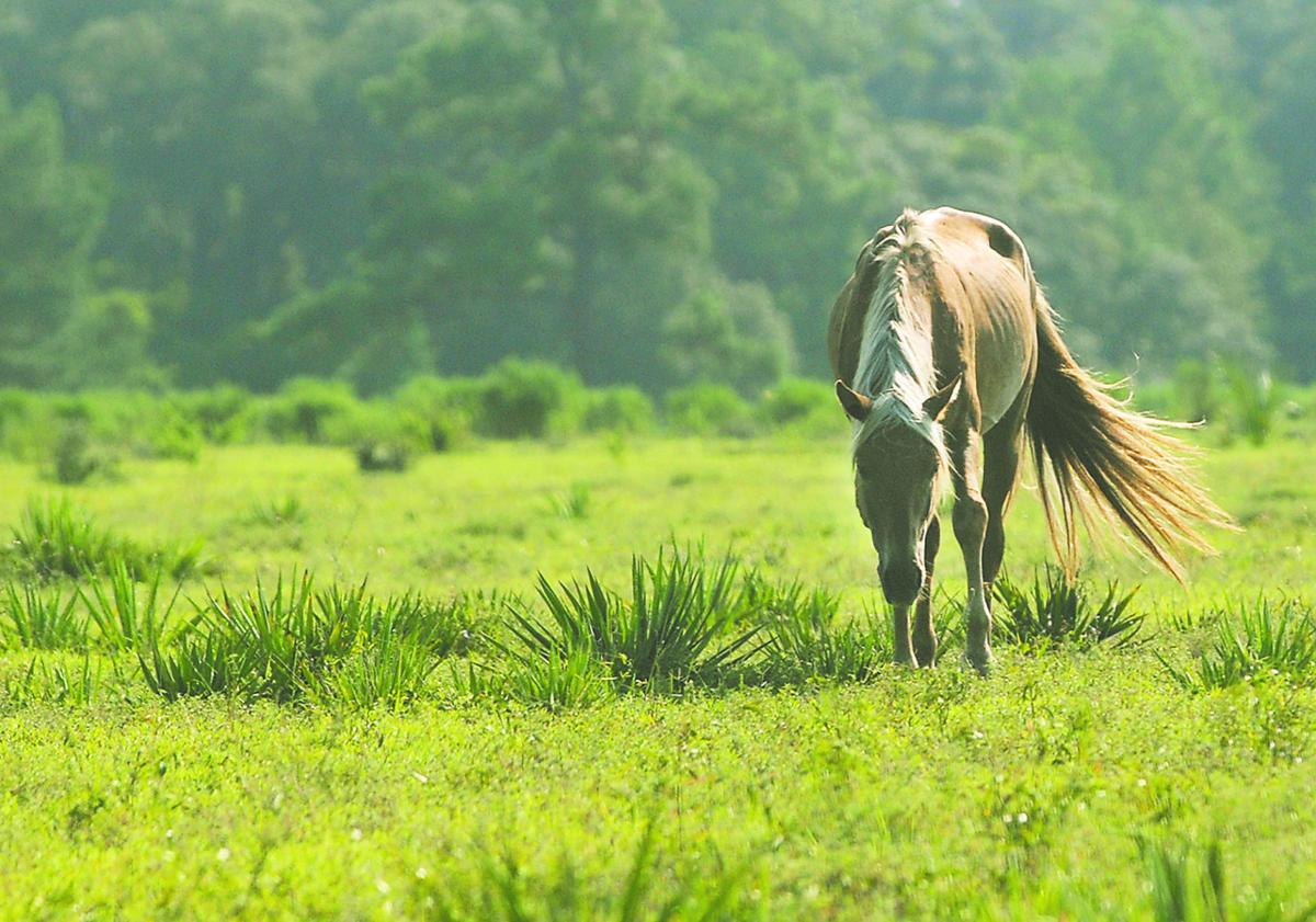Cumberland horse