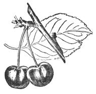 Early fruit drop