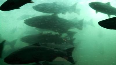 Salmon in fish ladder at Bonneville Dam