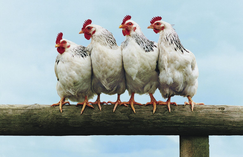 New Study: Easing chicken heat stress