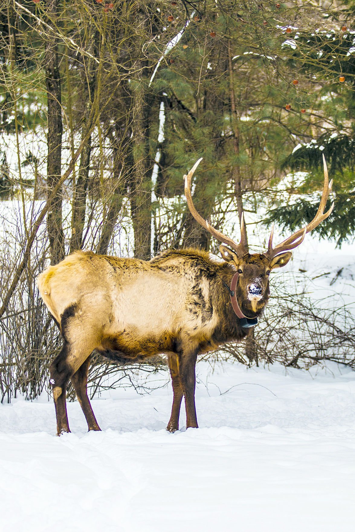 Tangled elk to be on TV