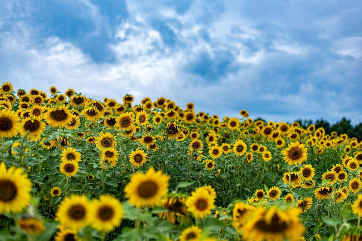 Falls Creek sunflower field is a memorial for man's mother | News | thecourierexpress.com