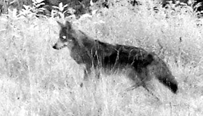 gateway outdoors coyote pic