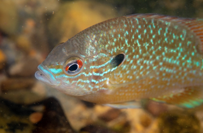 sunfish - new