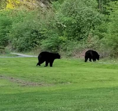 PA Game Commission warns of increased bear activity   Local
