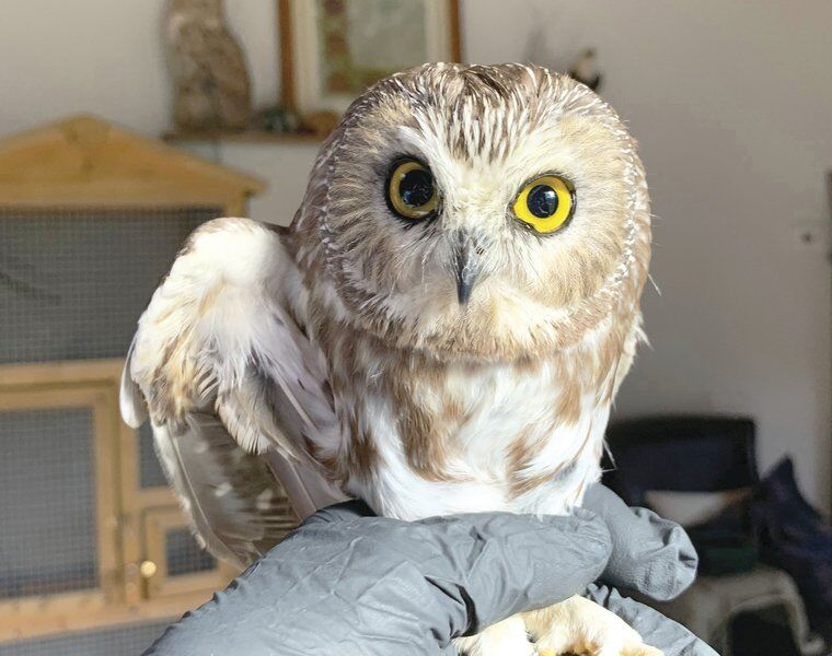 Owl found in Rockefeller tree to bereturned to Oneonta