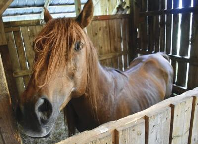 Shelter urgently seekshomes for two neglected horses