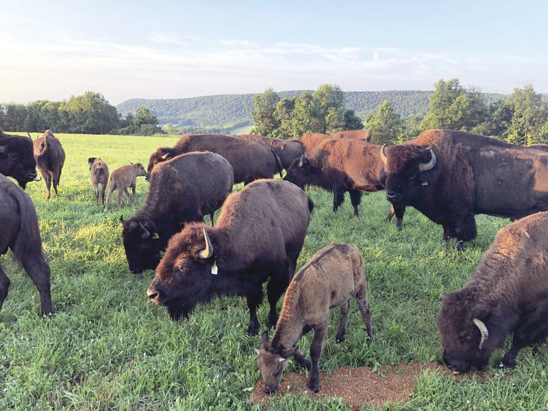 Rancher: Wayward buffalo are making way home