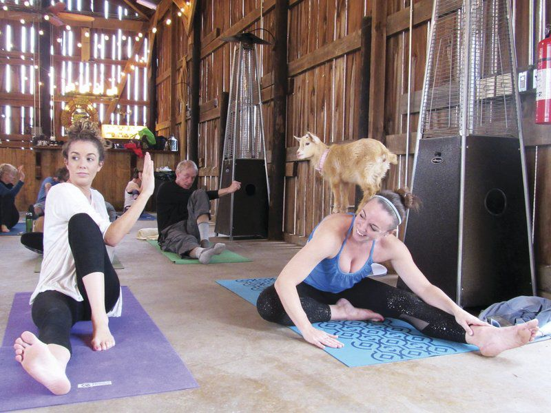 Goats are the stars at area Yoga class