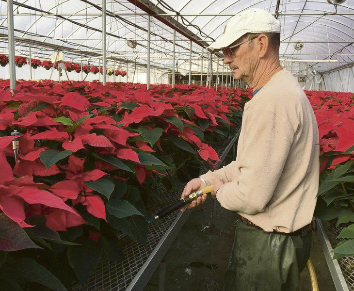 Poinsettia growers help make the season bright