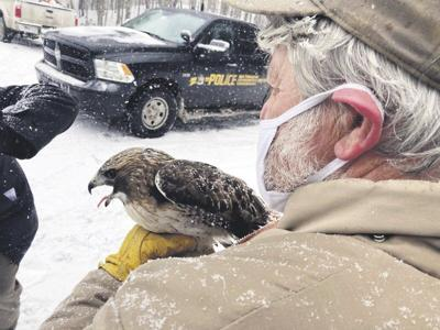 Hawk hit by SUV released in forest after healing