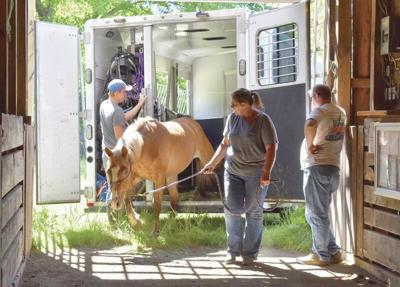 Sheriff, shelter rescue dozens of neglected horses