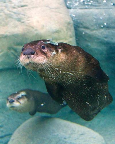 Tennessee Aquarium otters