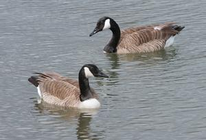 Renewed wildlife contract ensures goose removal, protection