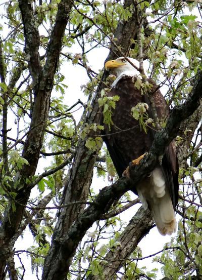 Allen Brook Eagle