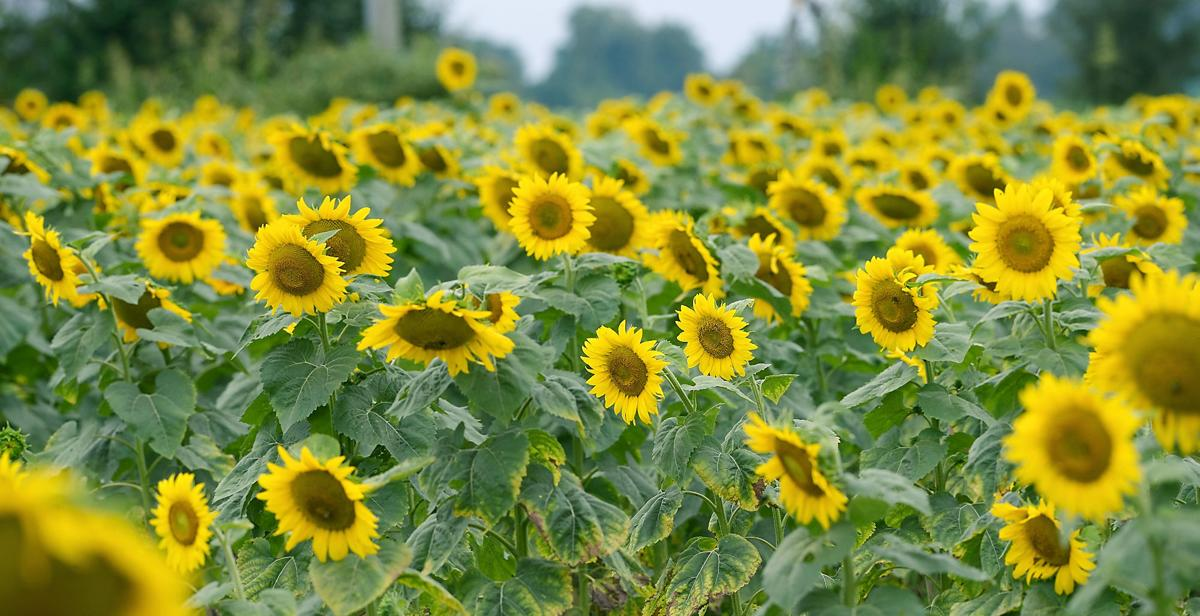 Sunflowers along Sevierville Road and Nina Delozier Road