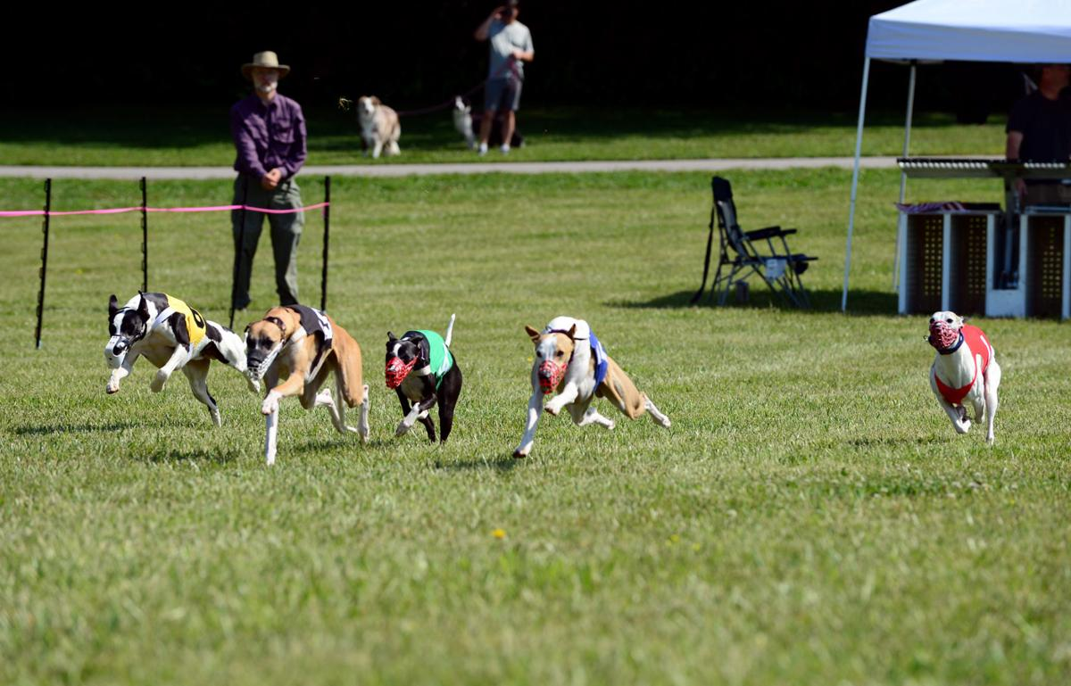 32626ab413213 Miniature greyhounds whippet good around the track