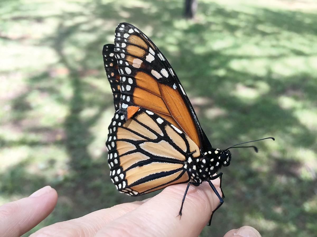 Fourth annual butterfly festival at UT Arboretum