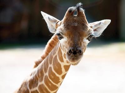 Bea the giraffe