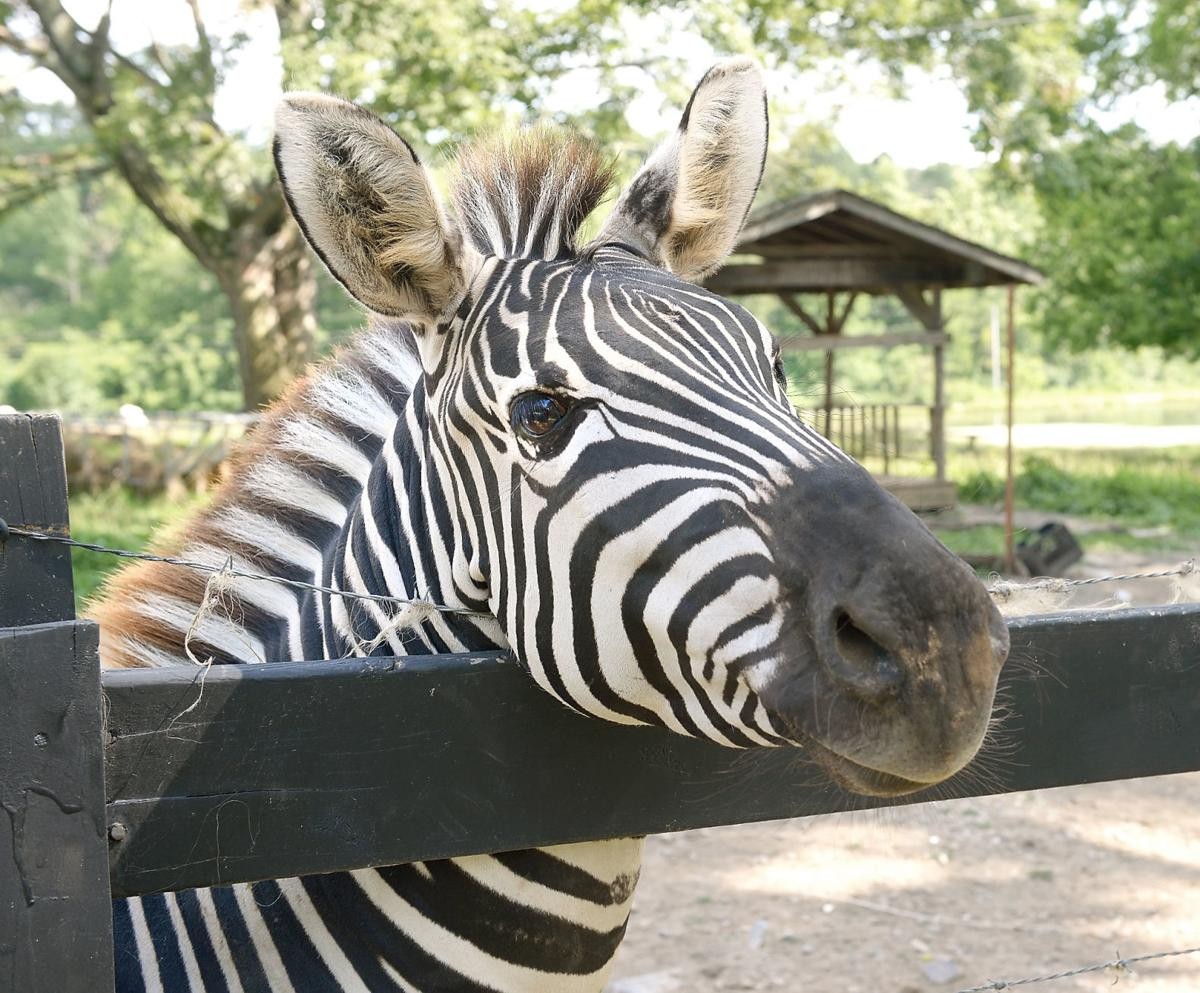 Zebra accused of biting people at farm in Seymour