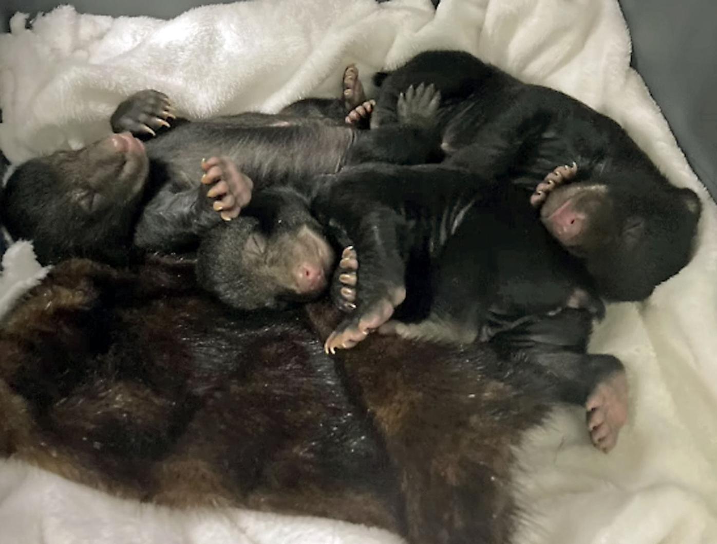 ABR Baby bear return