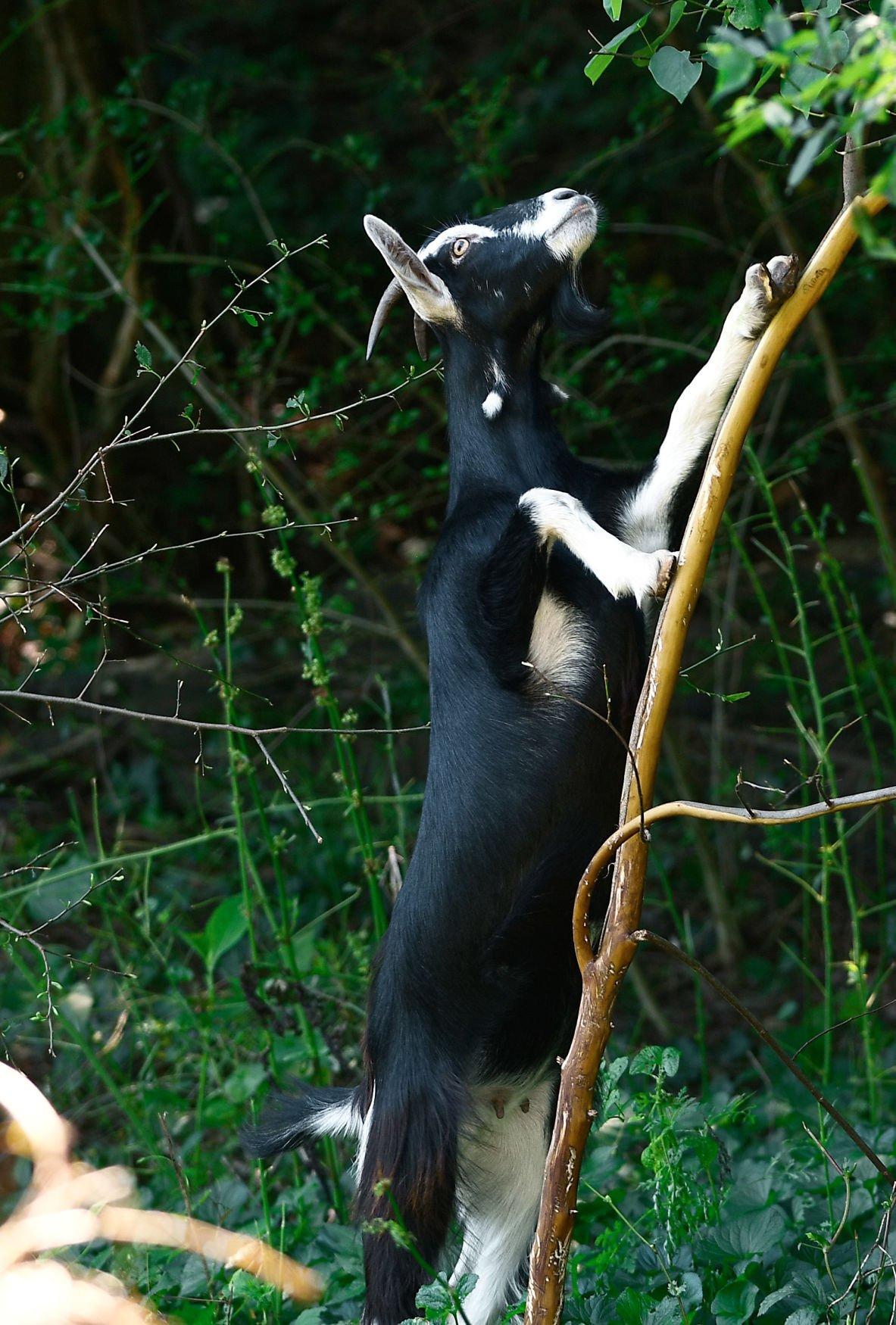 Nigerian Dwarf goat climbs in Maryville College Woods