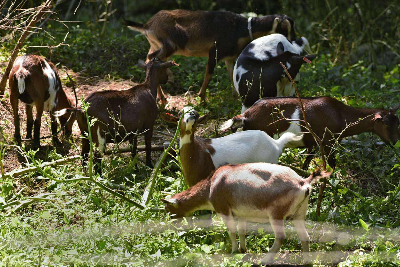 Knox Goats in Maryville College Woods