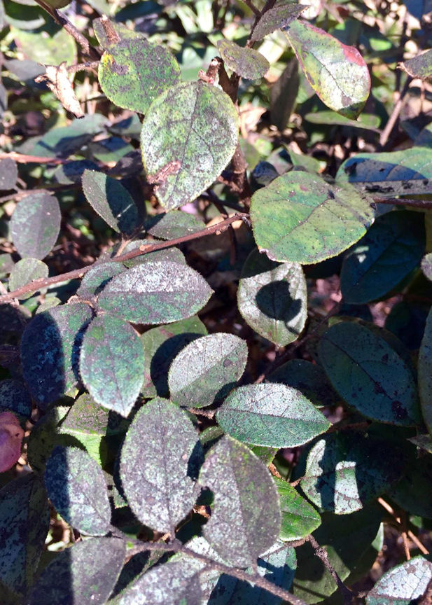 Sooty mold on leaves