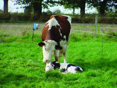 The live calf on the ground is the most important concern