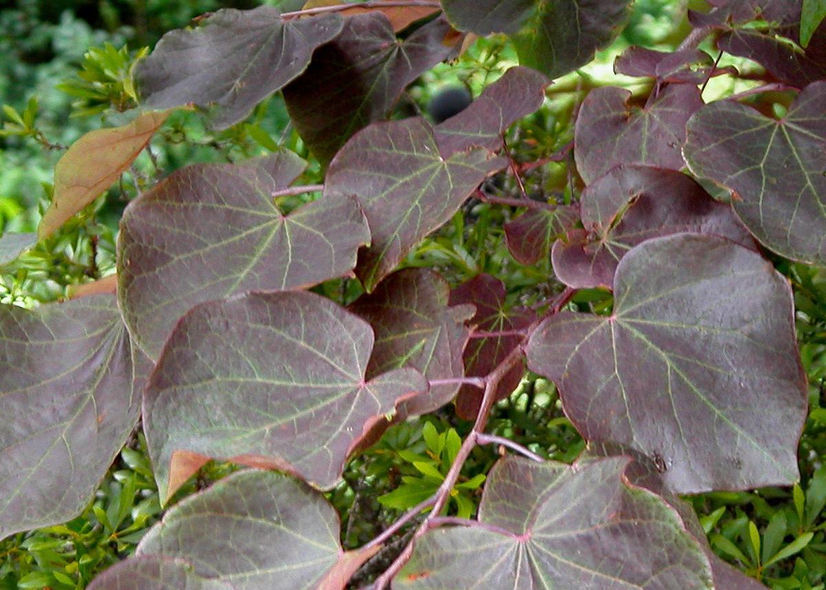 TEXAS GARDENING: Redbud forest pansy