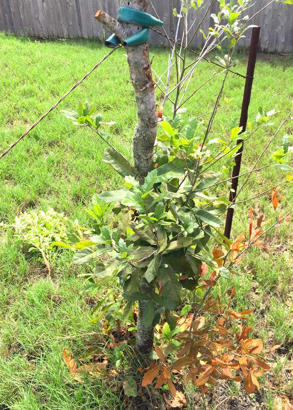 Genial TEXAS GARDENING: Oak Shoots