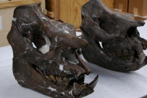Aggie helps identify ancient rhino species