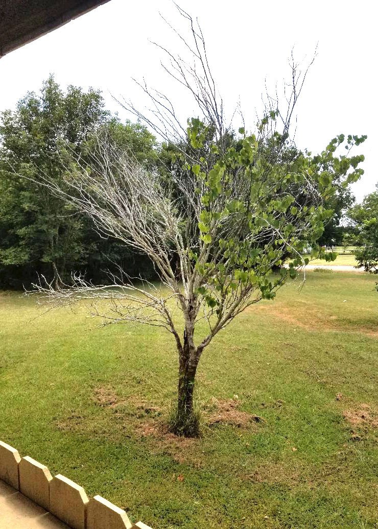 Texas Gardening Not Much To Do For Dying Redbud Except Replant