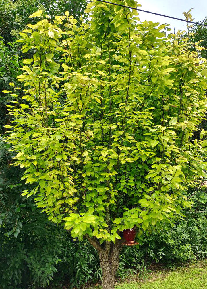 TEXAS GARDENING: Pear tree