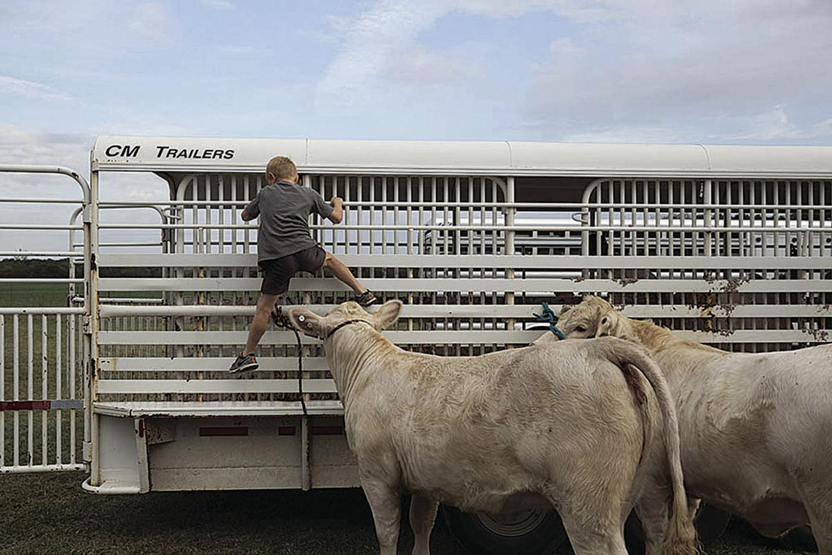 Use common sense when transporting cattle