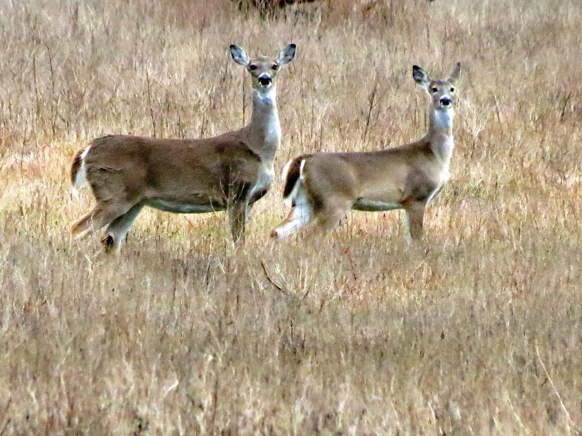 Texas Parks and Wildlife Department adds 'doe days' for hunters | Local News | theeagle.com