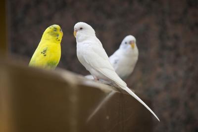 Parakeets TT